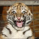 baby_tiger_surprised_face-150x150