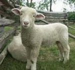 mouton-150x139